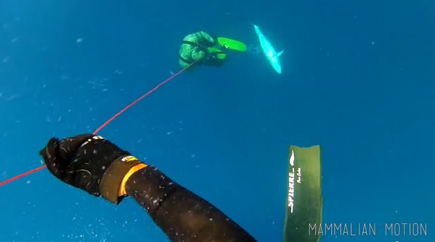 blue water hunting for dogtooth tuna north queensland australia