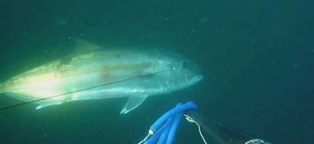 spearfishing Great Amberjack