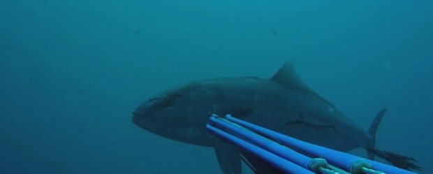 Spearfishing Amberjack head shot