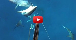 spearfishing dogtooth tuna