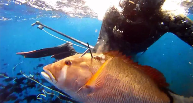 Spearfishing a Dog Snapper
