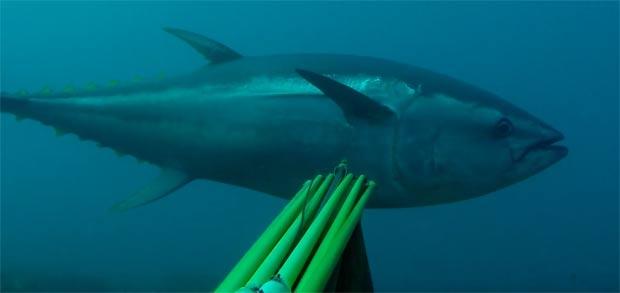 spearfishing-bluefin-tuna-1