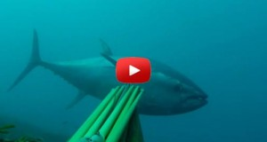 Spearfishing bluefin tuna Epic Video