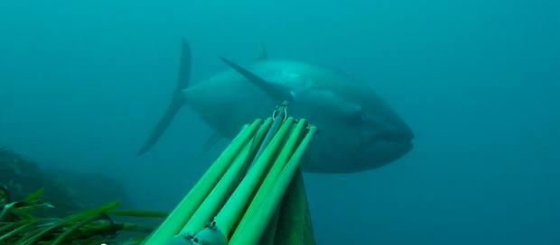 spearfishing-bluefin-tuna104kg003