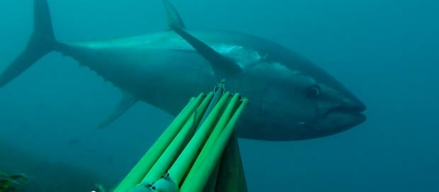 spearfishing-bluefin-tuna104kg004