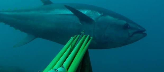spearfishing-bluefin-tuna104kg005