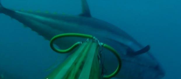 spearfishing-bluefin-tuna104kg006