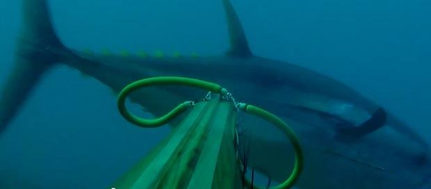 spearfishing-bluefin-tuna104kg007