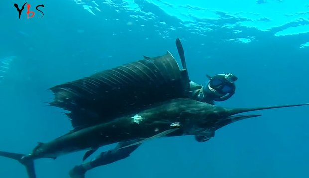 m_spearfishing-sailfish