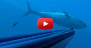 spearfishing 65 kilo Greek Tuna