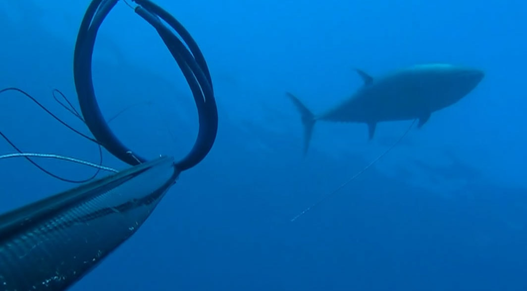 spearfishing 65 kilo Greek Tuna - good Shot!