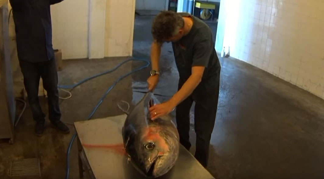 spearfishing 65 kilo Greek Tuna - filleting the tuna