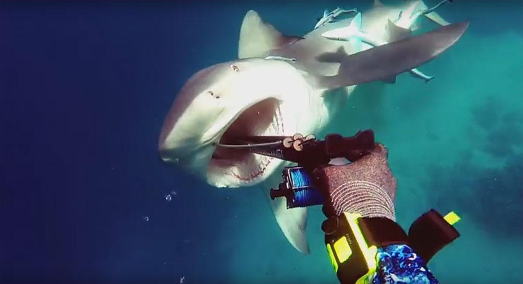 BullShark tasting some Sharke medicine